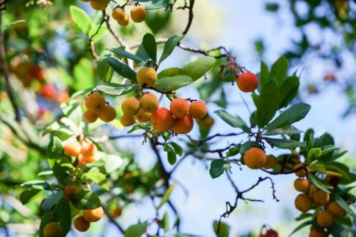 Drzewko truskawkowe